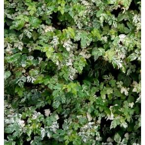 Ampelopsis brevipedunculata 'Elegans', vita salbatica