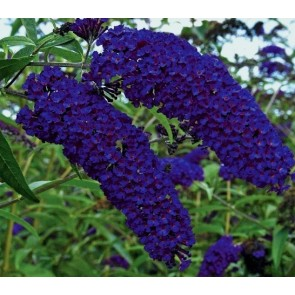 Buddleia davidii 'Empire Blue', liliac de vara