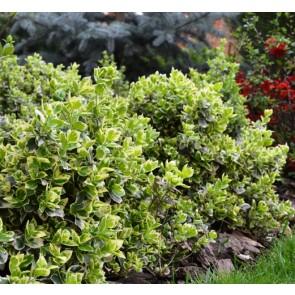 Euonymus fortunei 'Emerald Gaiety', voiniceriu