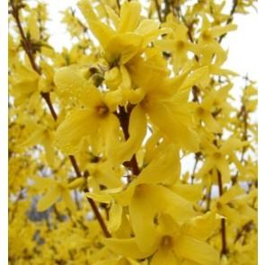 Forsythia intermedia 'Lynwood', ploaia de aur