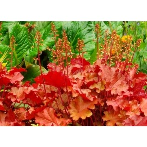 Heuchera hybrid 'Peach Flambe', clopotel