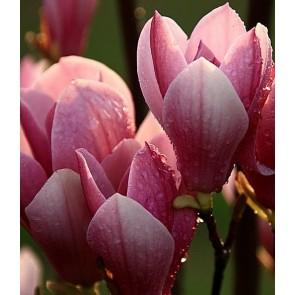Magnolia liliflora 'Nigra', magnolie