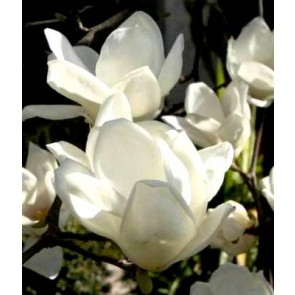 Magnolia soulangeana 'Alba Superba', magnolie