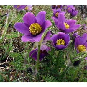 Pulsatilla vulgaris, floarea pastelui, deditel