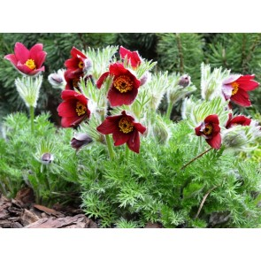 Pulsatilla vulgaris 'Rubra', floarea pastelui, deditel