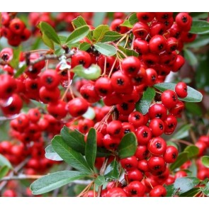 Pyracantha coccinea 'Red Column', piracanta, pyrachanta