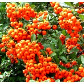 Pyracantha 'Orange Glow', piracanta, pyrachanta